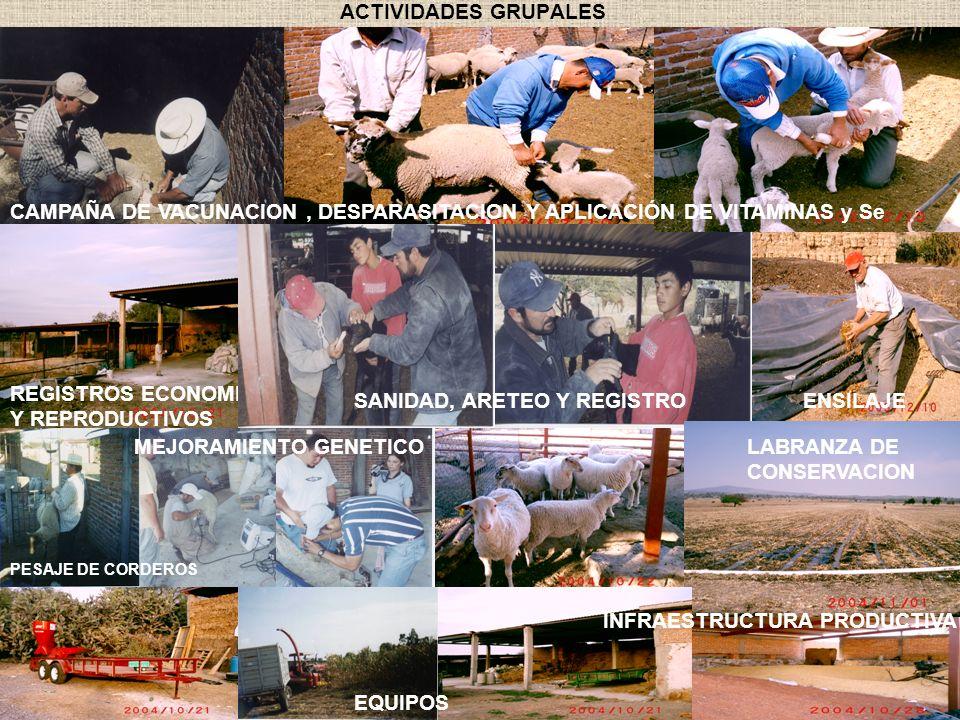 ACTIVIDADES GRUPALES PESAJE DE CORDEROS ENSILAJE LABRANZA DE CONSERVACION INFRAESTRUCTURA PRODUCTIVA CAMPAÑA DE VACUNACION, DESPARASITACION Y APLICACI