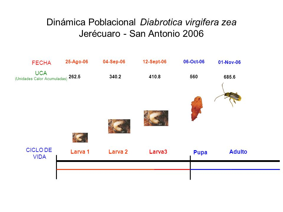 Dinámica Poblacional Diabrotica virgifera zea Jerécuaro - San Antonio 2006 340.2410.8560 685.6 Larva 1Larva 2Larva3 Pupa Adulto 262.5 25-Ago-0604-Sep-