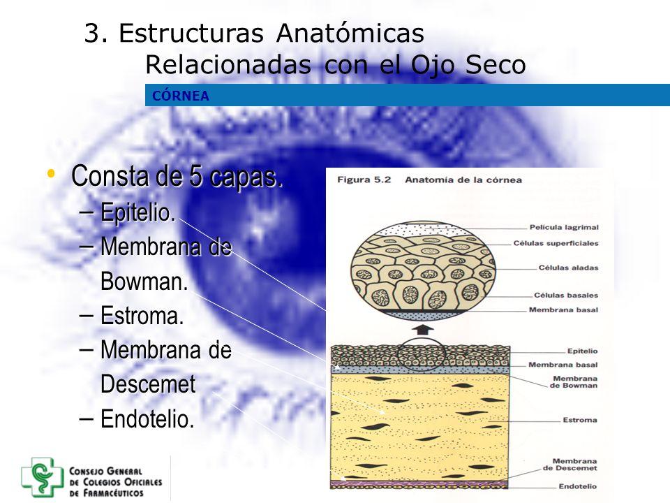 Consta de 5 capas. Consta de 5 capas. – Epitelio. – Membrana de Bowman. – Estroma. – Membrana de Descemet – Endotelio. 3. Estructuras Anatómicas Relac