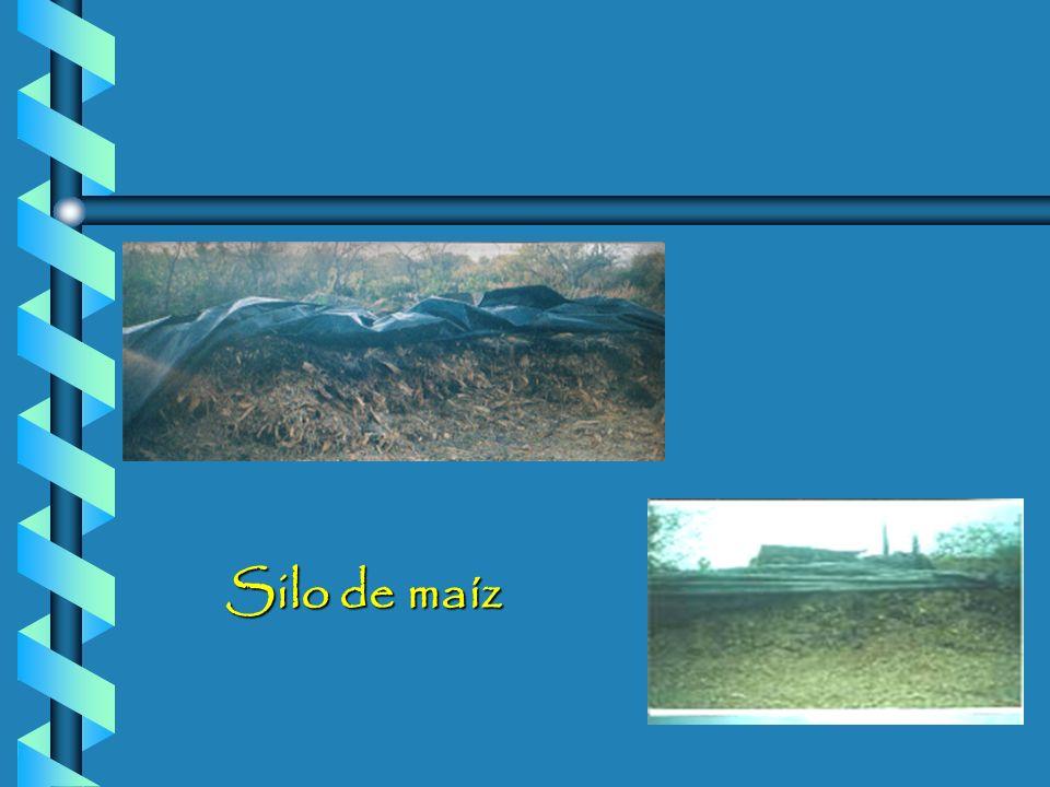 Avena + Ebo Rye grass