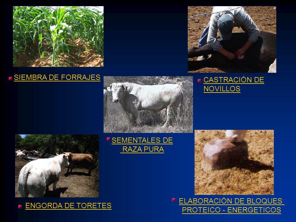 SIEMBRA DE FORRAJES CASTRACIÓN DE NOVILLOS ENGORDA DE TORETES ELABORACIÓN DE BLOQUES PROTEICO - ENERGETICOS SEMENTALES DE RAZA PURA