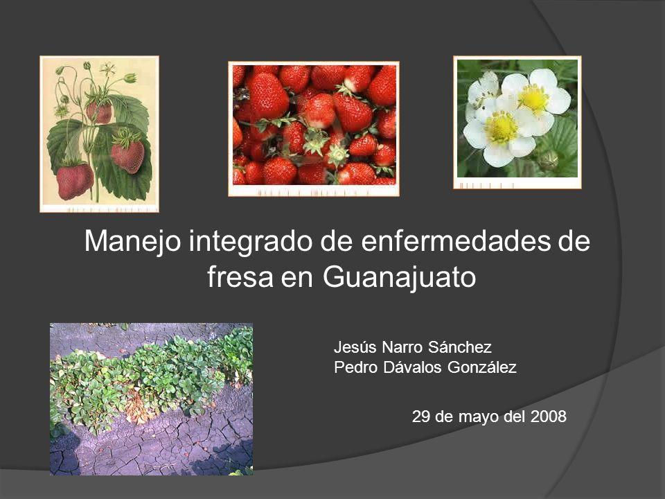 Manejo integrado de enfermedades de fresa en Guanajuato Jesús Narro Sánchez Pedro Dávalos González 29 de mayo del 2008