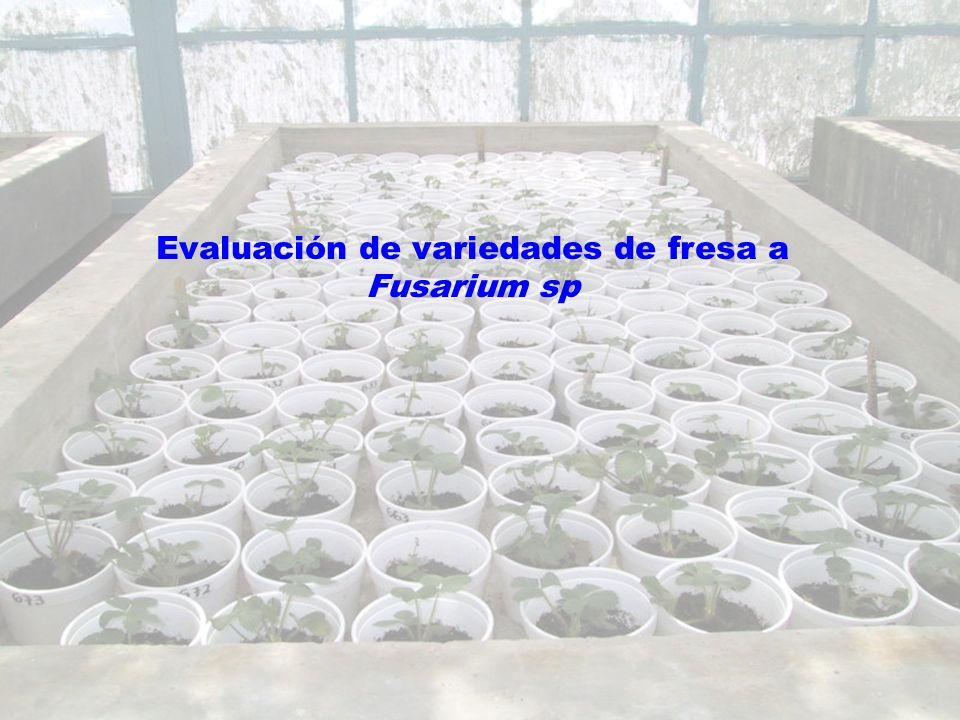 Evaluación de variedades de fresa a Fusarium sp