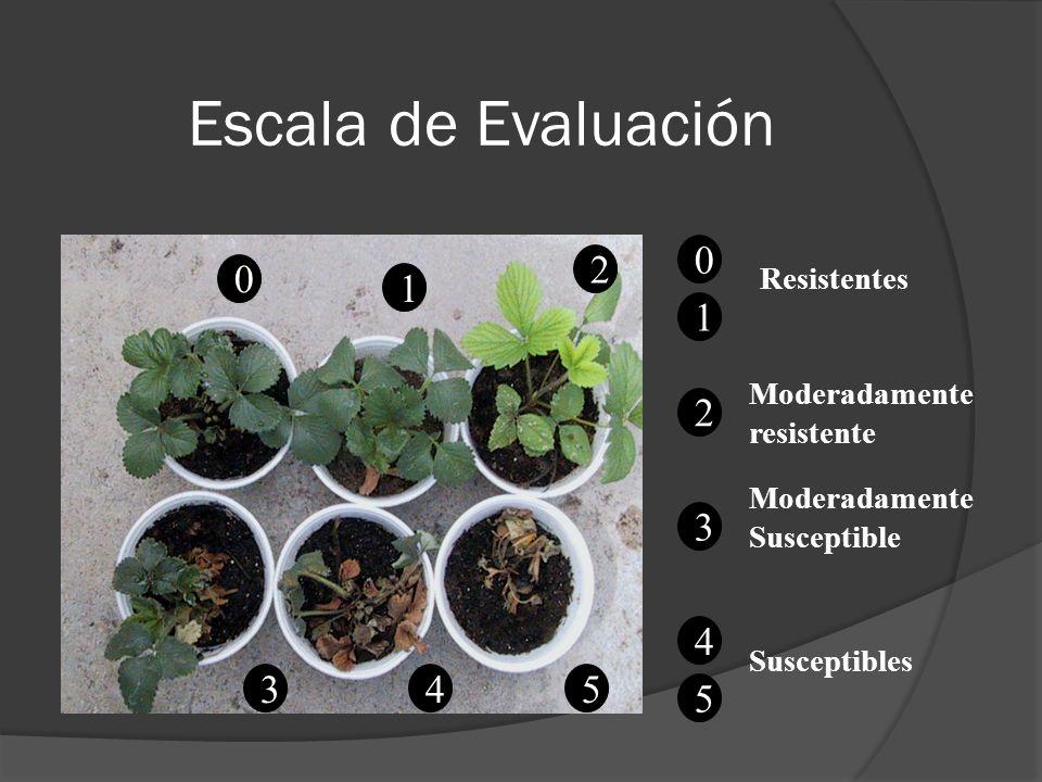Escala de Evaluación 0 4 1 3 2 5 0 1 Resistentes 2 4 5 Moderadamente resistente 3 Moderadamente Susceptible Susceptibles