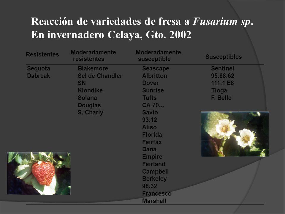 Reacción de variedades de fresa a Fusarium sp. En invernadero Celaya, Gto. 2002 Resistentes Moderadamente Susceptibles resistentessusceptible SequotaB