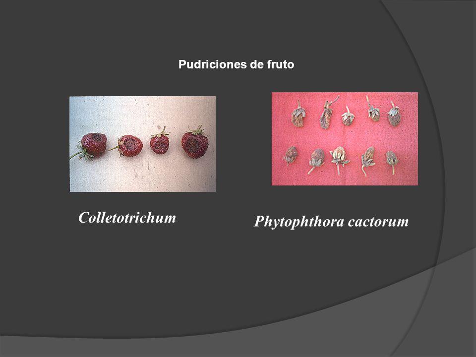 Colletotrichum Phytophthora cactorum Pudriciones de fruto