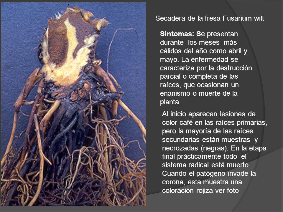 Secadera de la fresa Fusarium wilt Síntomas: Se presentan durante los meses más cálidos del año como abril y mayo. La enfermedad se caracteriza por la