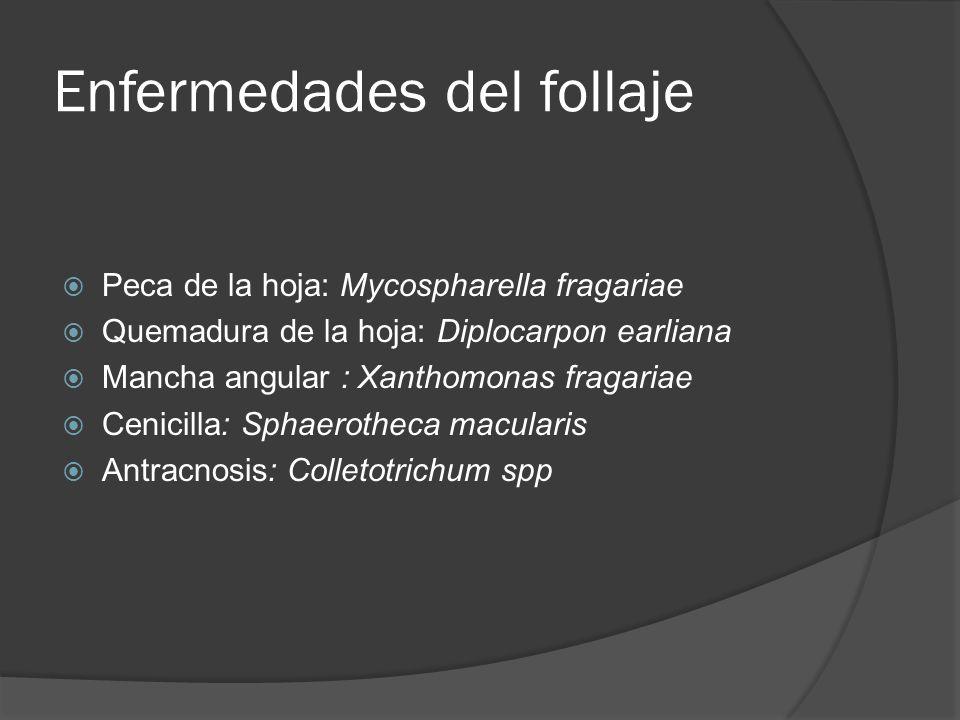 Enfermedades del follaje Peca de la hoja: Mycospharella fragariae Quemadura de la hoja: Diplocarpon earliana Mancha angular : Xanthomonas fragariae Ce