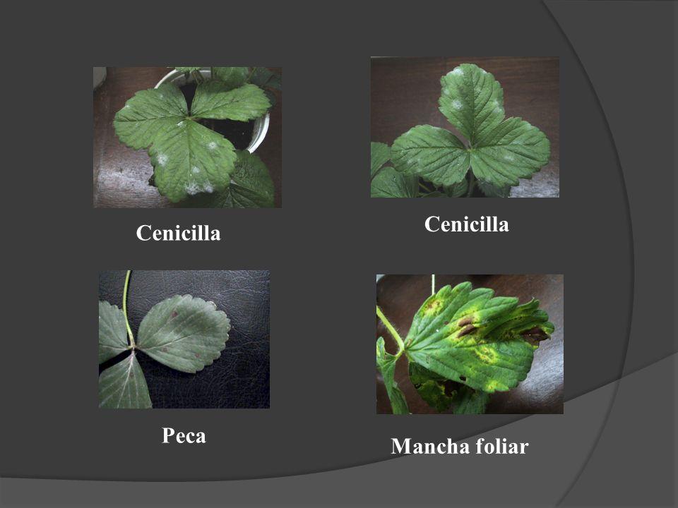 Peca Mancha foliar Cenicilla