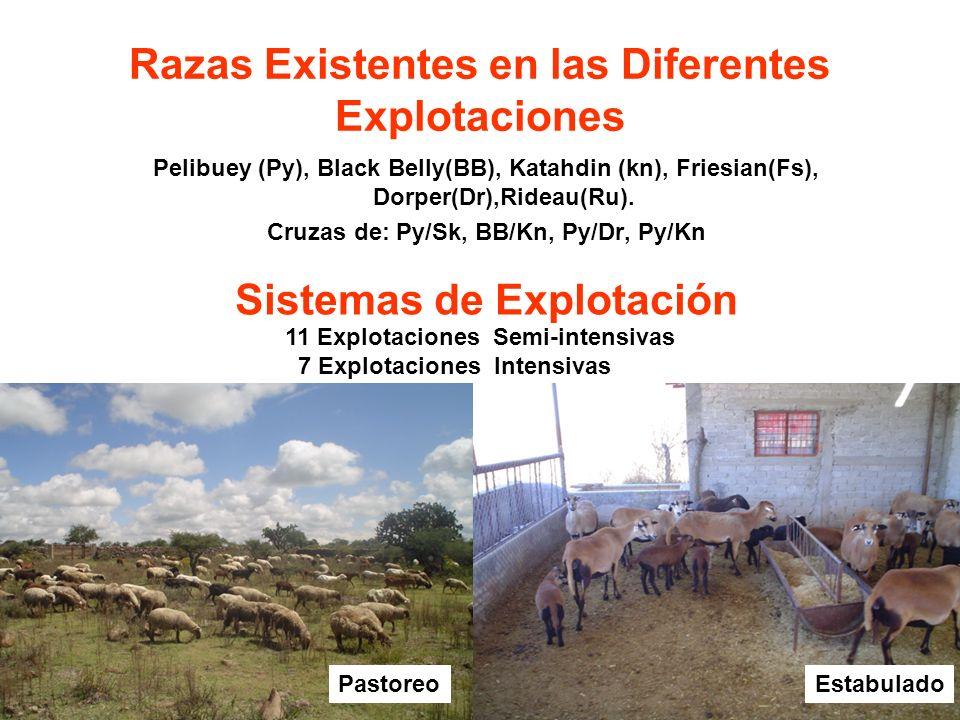 Razas Existentes en las Diferentes Explotaciones Pelibuey (Py), Black Belly(BB), Katahdin (kn), Friesian(Fs), Dorper(Dr),Rideau(Ru). Cruzas de: Py/Sk,