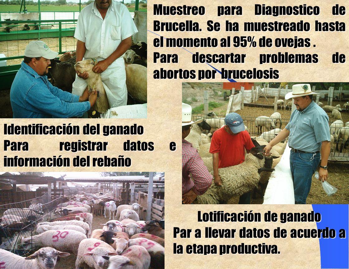 Muestreo para Diagnostico de Brucella.Se ha muestreado hasta el momento al 95% de ovejas.
