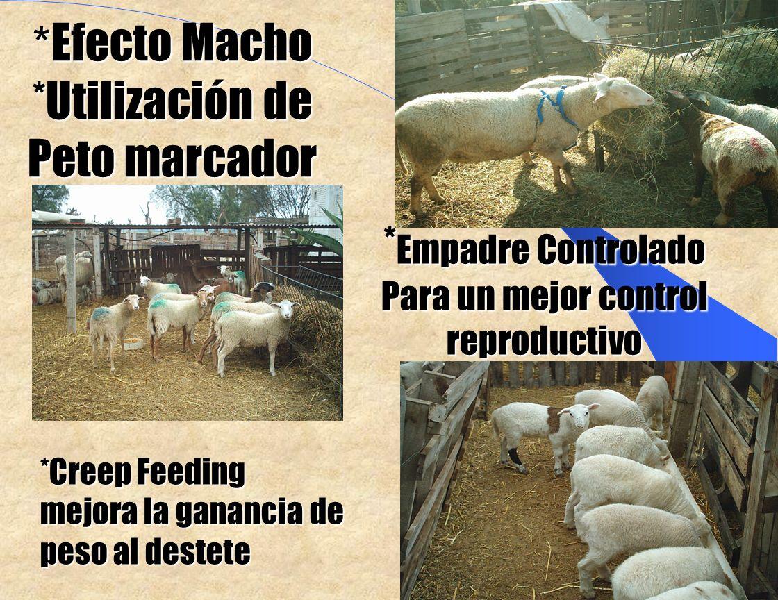 * Efecto Macho *Utilización de Peto marcador *Creep Feeding mejora la ganancia de peso al destete * Empadre Controlado Para un mejor control reproductivo