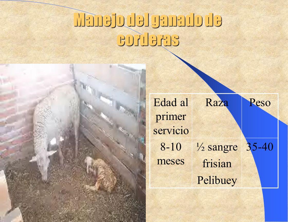 Manejo del ganado de corderas Edad al primer servicio RazaPeso 8-10 meses ½ sangre frisian Pelibuey 35-40