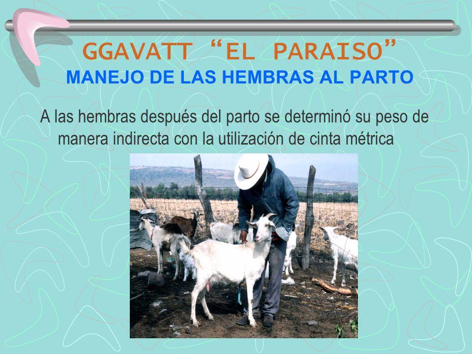 GGAVATT EL PARAISO MANEJO DE LAS HEMBRAS AL PARTO A las hembras después del parto se determinó su peso de manera indirecta con la utilización de cinta