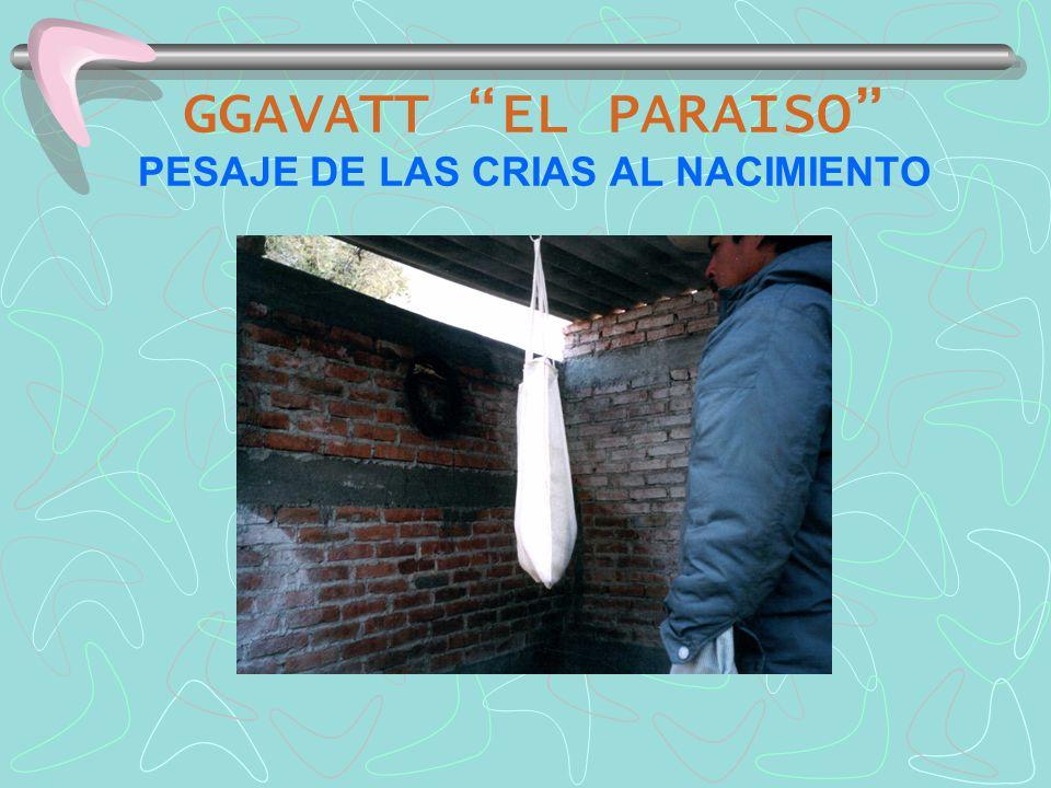 GGAVATT EL PARAISO PESAJE DE LAS CRIAS AL NACIMIENTO
