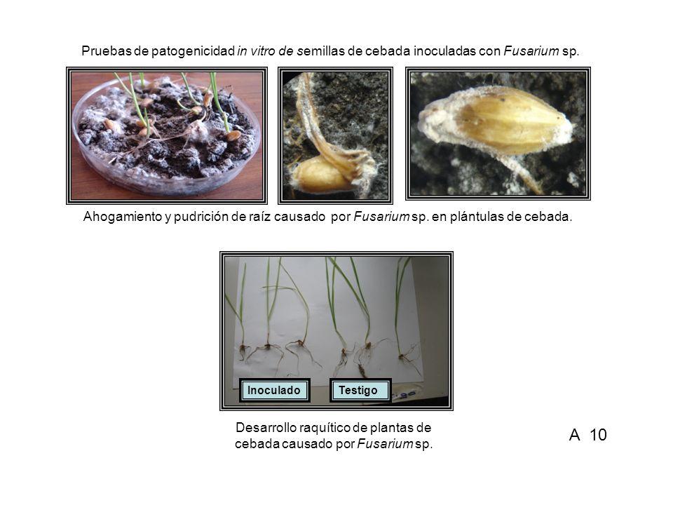 Ahogamiento y pudrición de raíz causado por Fusarium sp. en plántulas de cebada. Desarrollo raquítico de plantas de cebada causado por Fusarium sp. Pr