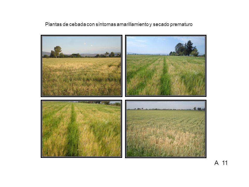 Plantas de cebada con síntomas amarillamiento y secado prematuro A 11