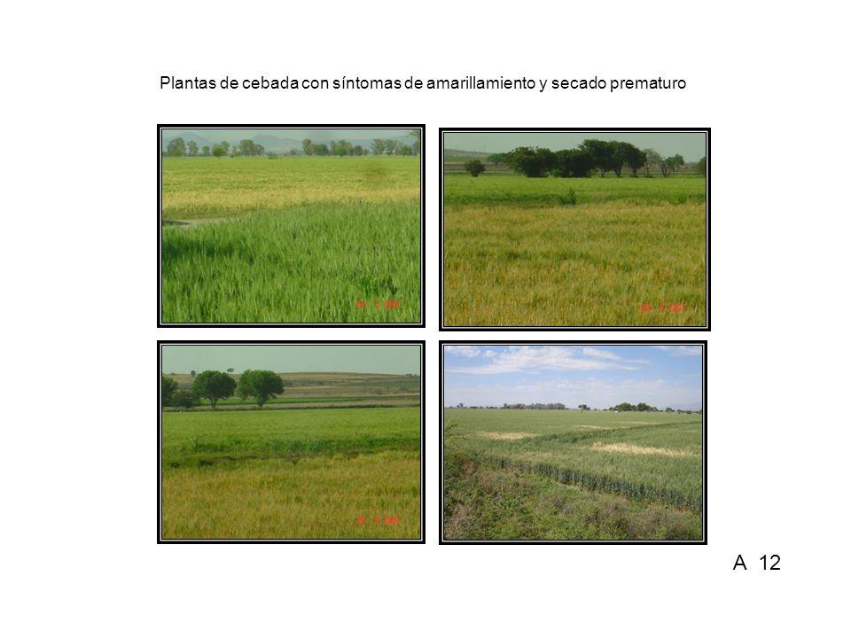 Plantas de cebada con síntomas de amarillamiento y secado prematuro A 12