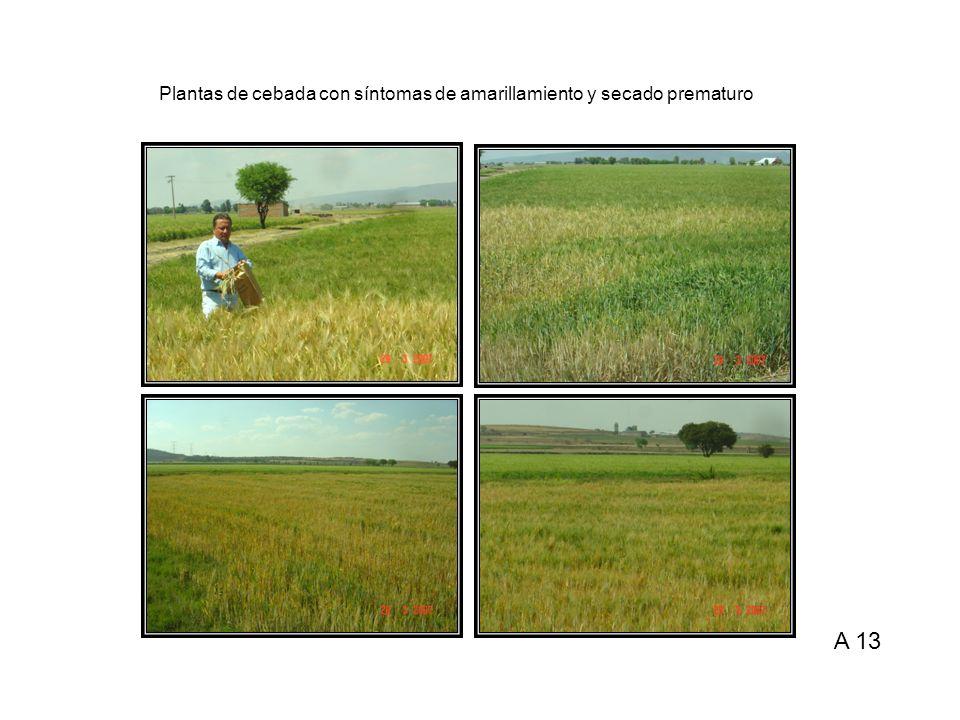Plantas de cebada con síntomas de amarillamiento y secado prematuro A 13