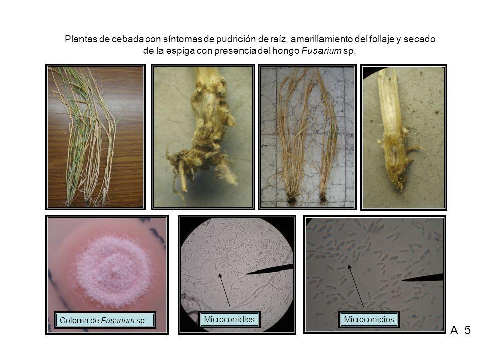 Plantas de cebada con síntomas de pudrición de raíz, amarillamiento del follaje y secado de la espiga con presencia del hongo Fusarium sp. Microconidi