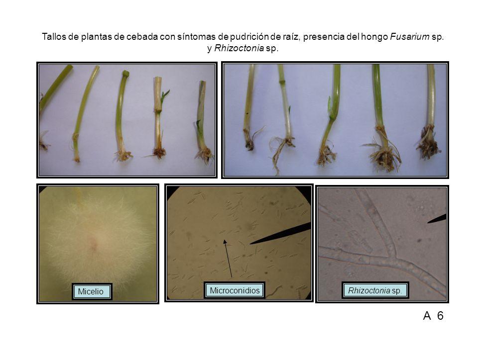 Hongos aislados de plantas de cebada con síntomas de pudrición de raíz, Bipolaris sp., Stemphylium sp.