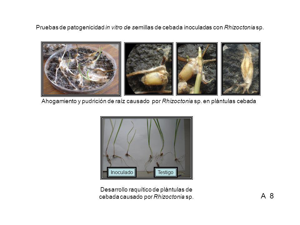 Desarrollo raquítico de plántulas de cebada causado por Sclerotium rolfsii Pruebas de patogenicidad in vitro de semillas de cebada inoculadas con Sclerotium rolfsii Ahogamiento y pudrición de raíz causado por Sclerotium rolfsii en plántulas de cebada InoculadoTestigo A 9
