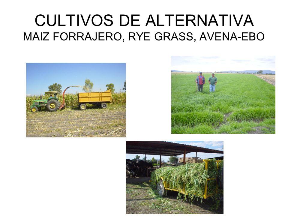 CULTIVOS DE ALTERNATIVA MAIZ FORRAJERO, RYE GRASS, AVENA-EBO