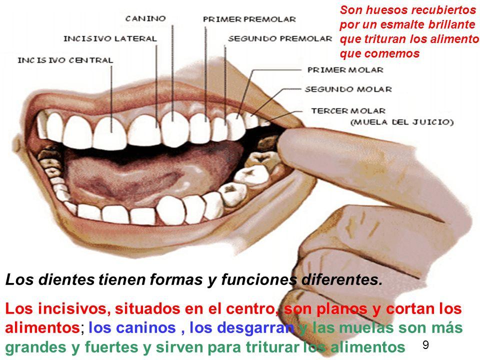 11 Los dientes tienen formas y funciones diferentes.