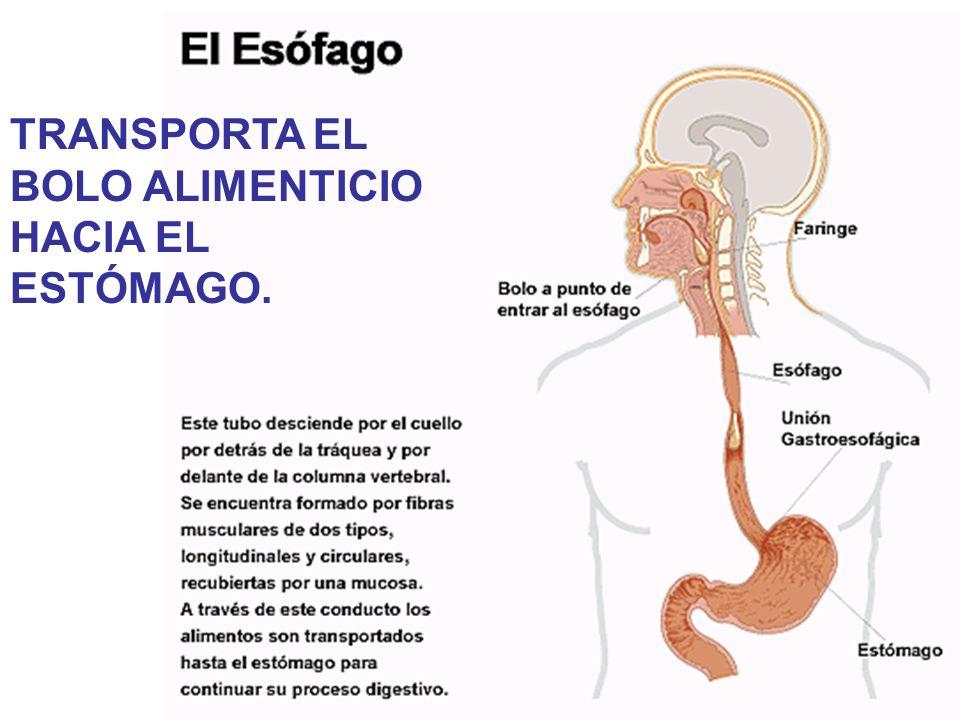 17 Esfínteres SON ANILLOS MUSCULARES QUE IMPIDEN EL RETROCESO DEL CONTENIDO GÁSTRICO.