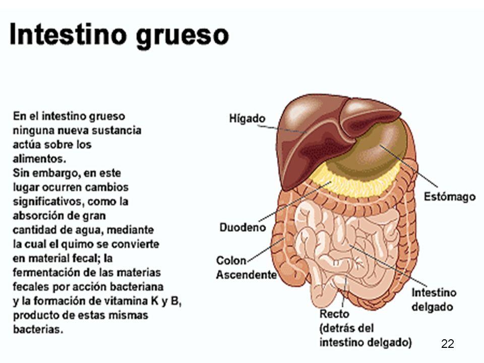 25 Otra fase de la digestión es que los nutrientes asimilables se separan de los residuos e ingresan en la sangre, gracias a las vellosidades intestinales.