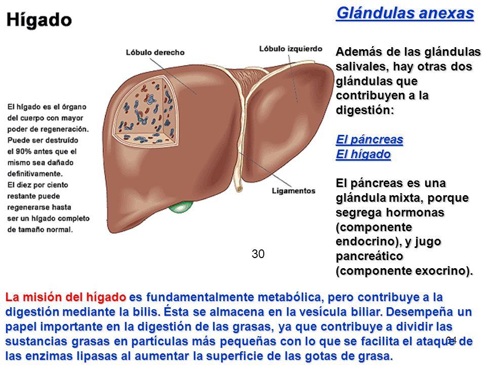 33 GLÁNDULAS ANEXAS GLÁNDULAS SALIVALES: PARÓTIDAS SUBMAXILARES SUBLINGUALES HÍGADO PÁNCREAS