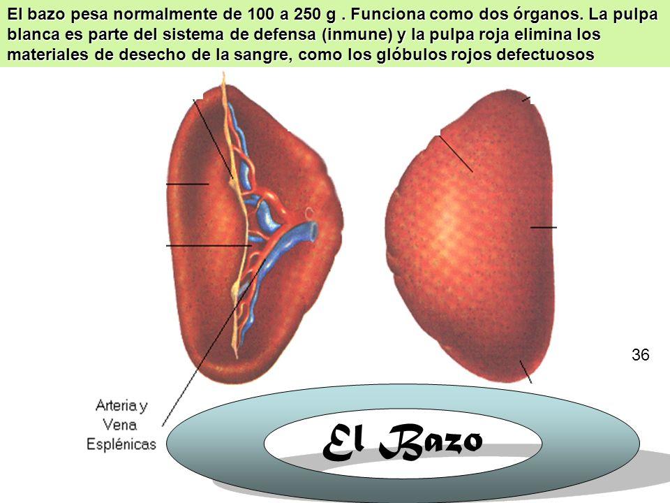 38 HIGADO Y VESÍCULA BILIAR: el hígado y la vesícula biliar no entran en contacto directo con los alimentos, aunque son vitales para digerirlos.