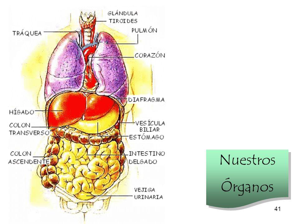 40 Investiga tu cuerpo A la salida del estómago, el tubo digestivo se prolonga con el intestino delgado, de unos siete metros de largo, aunque muy replegado sobre sí mismo.
