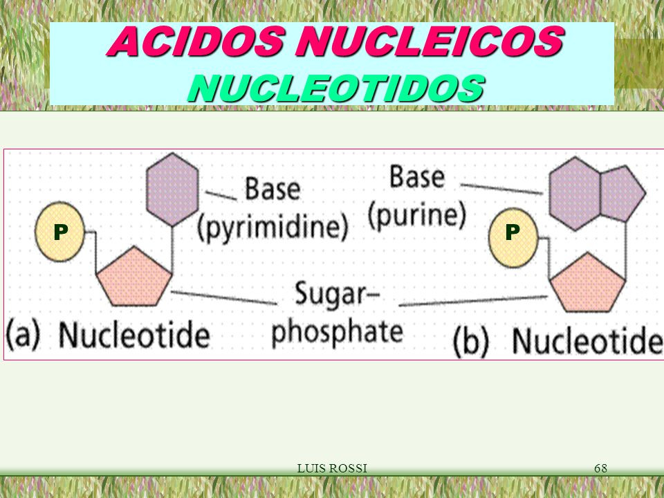LUIS ROSSI68 ACIDOS NUCLEICOS NUCLEOTIDOS PP