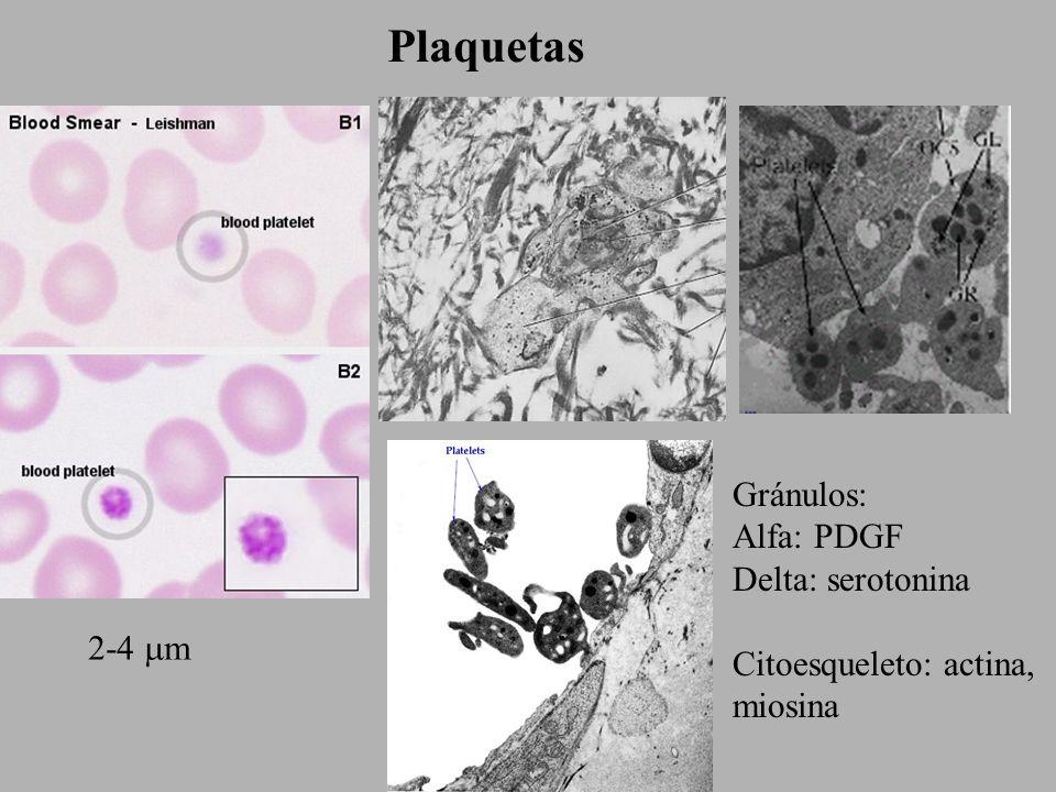 Eritrocitos 7 m Hemoglobina Citoesqueleto: espectrina, anquirina, proteina 4.1 Membrana: banda 3, glucoforina