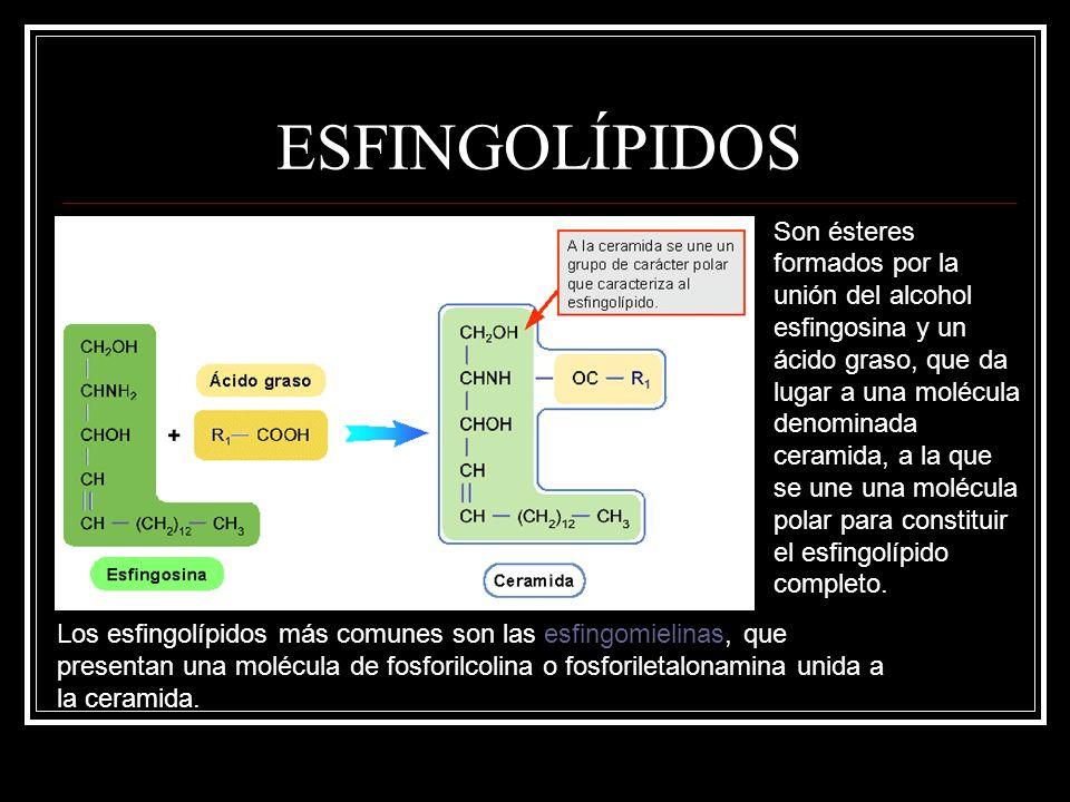 ESFINGOLÍPIDOS Son ésteres formados por la unión del alcohol esfingosina y un ácido graso, que da lugar a una molécula denominada ceramida, a la que s