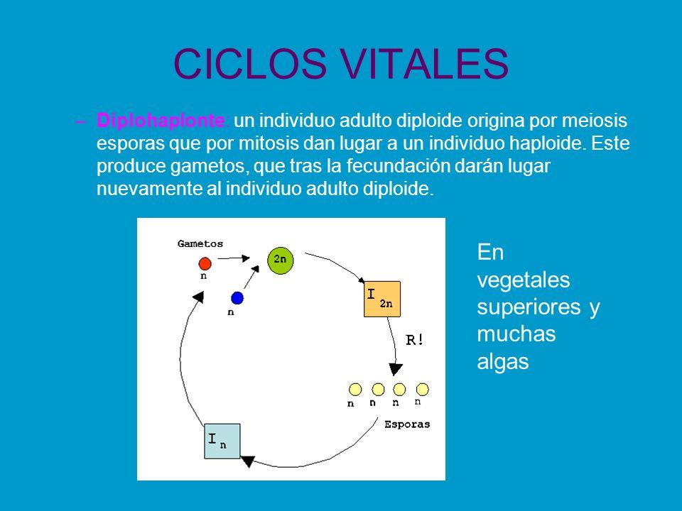 CICLOS VITALES –Diplohaplonte: un individuo adulto diploide origina por meiosis esporas que por mitosis dan lugar a un individuo haploide. Este produc