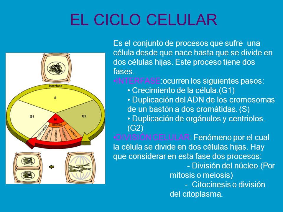 EL CICLO CELULAR Es el conjunto de procesos que sufre una célula desde que nace hasta que se divide en dos células hijas. Este proceso tiene dos fases
