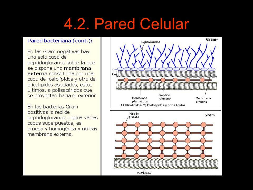 4.2. Pared Celular