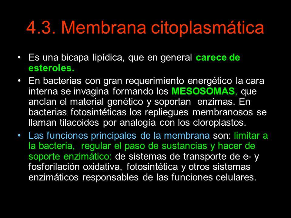 4.3. Membrana citoplasmática Es una bicapa lipídica, que en general carece de esteroles. En bacterias con gran requerimiento energético la cara intern