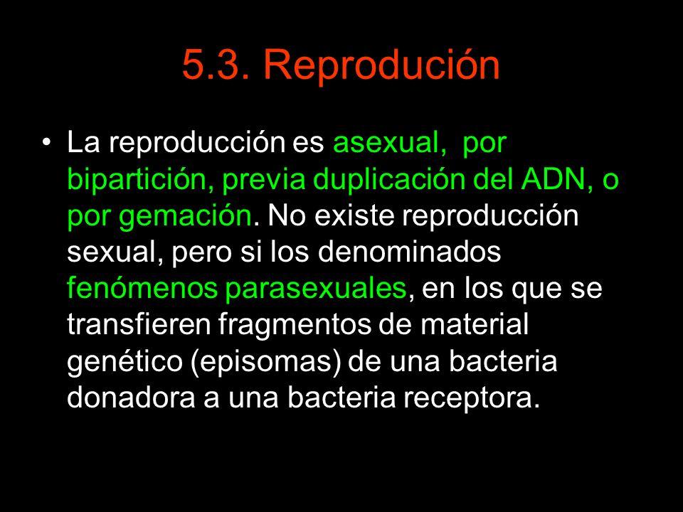 5.3. Reprodución La reproducción es asexual, por bipartición, previa duplicación del ADN, o por gemación. No existe reproducción sexual, pero si los d