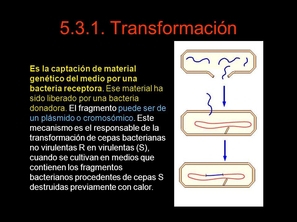 5.3.1. Transformación Es la captación de material genético del medio por una bacteria receptora. Ese material ha sido liberado por una bacteria donado