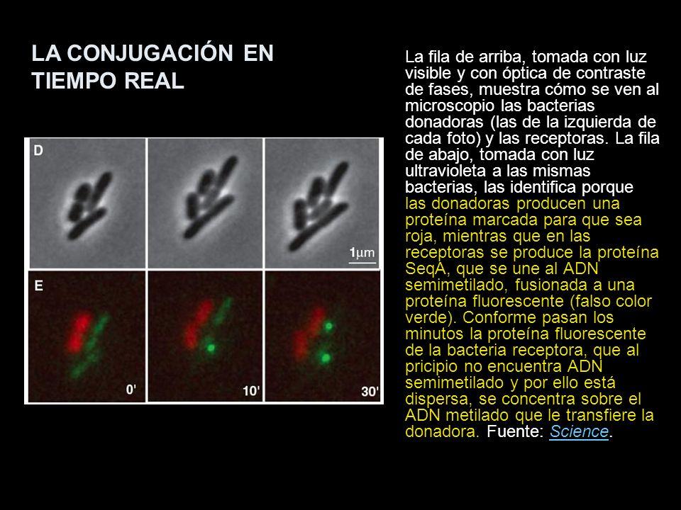 La fila de arriba, tomada con luz visible y con óptica de contraste de fases, muestra cómo se ven al microscopio las bacterias donadoras (las de la iz