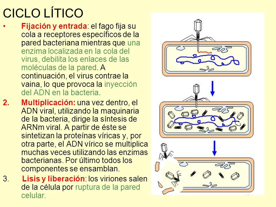 CICLO LÍTICO Fijación y entrada: el fago fija su cola a receptores específicos de la pared bacteriana mientras que una enzima localizada en la cola de