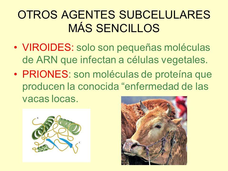OTROS AGENTES SUBCELULARES MÁS SENCILLOS VIROIDES: solo son pequeñas moléculas de ARN que infectan a células vegetales. PRIONES: son moléculas de prot