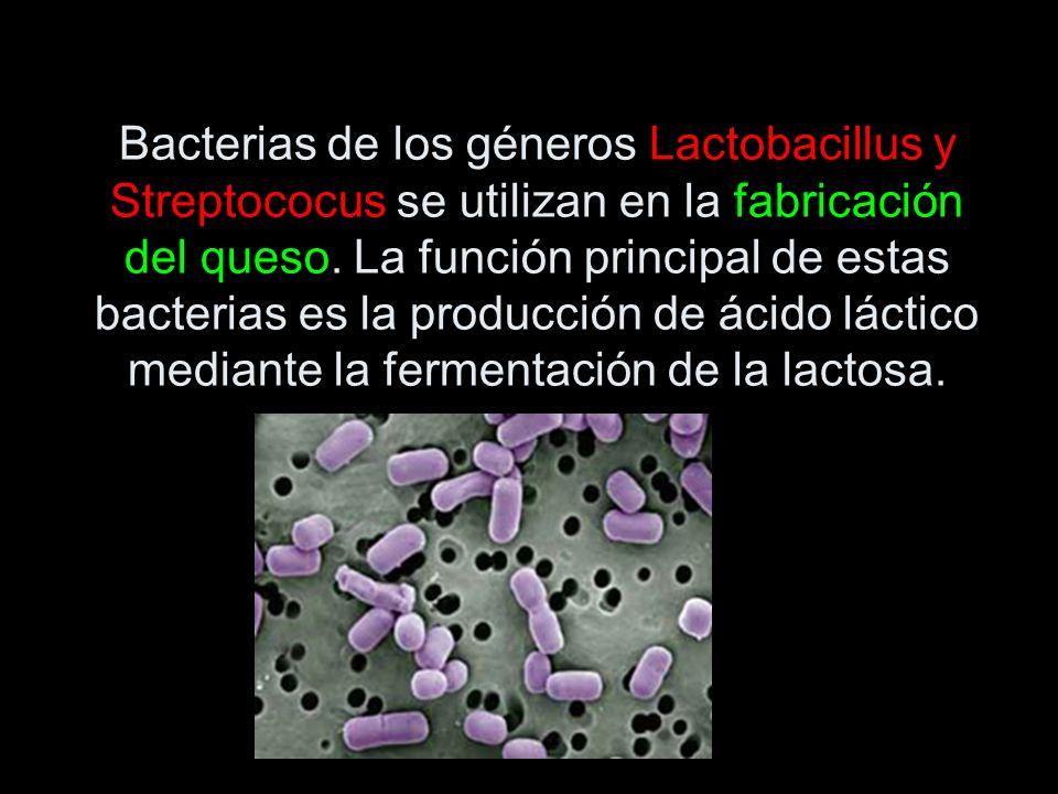 Bacterias de los géneros Lactobacillus y Streptococus se utilizan en la fabricación del queso. La función principal de estas bacterias es la producció