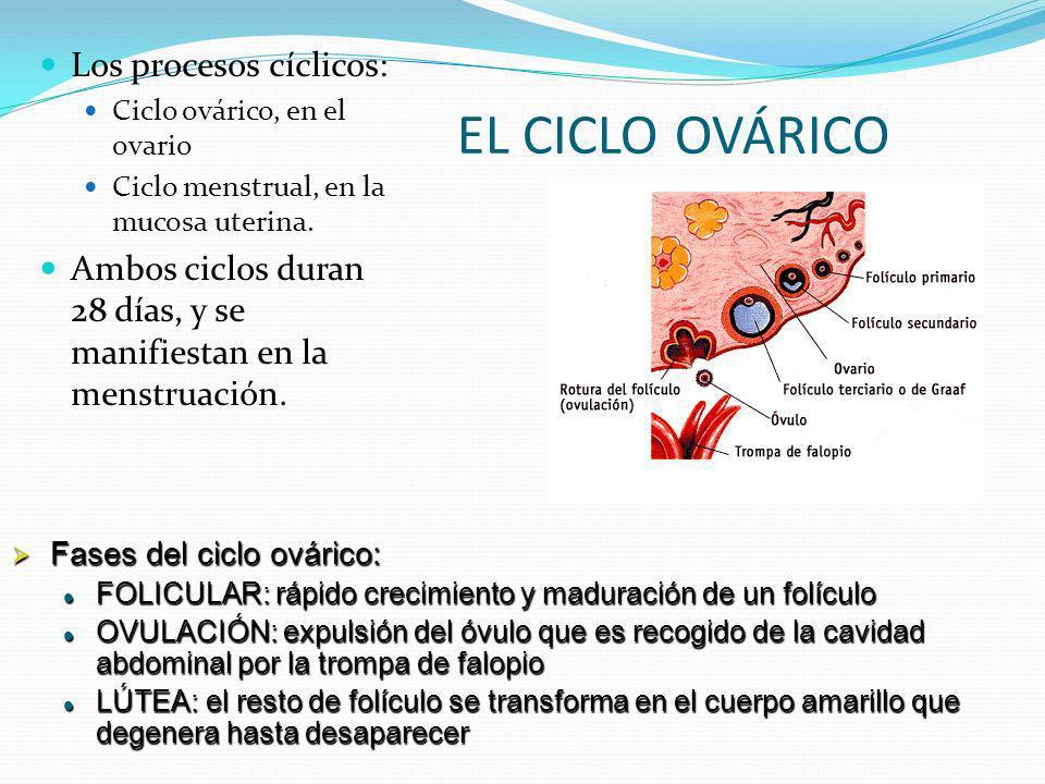 EL CICLO OVÁRICO Los procesos cíclicos: Ciclo ovárico, en el ovario Ciclo menstrual, en la mucosa uterina. Ambos ciclos duran 28 días, y se manifiesta