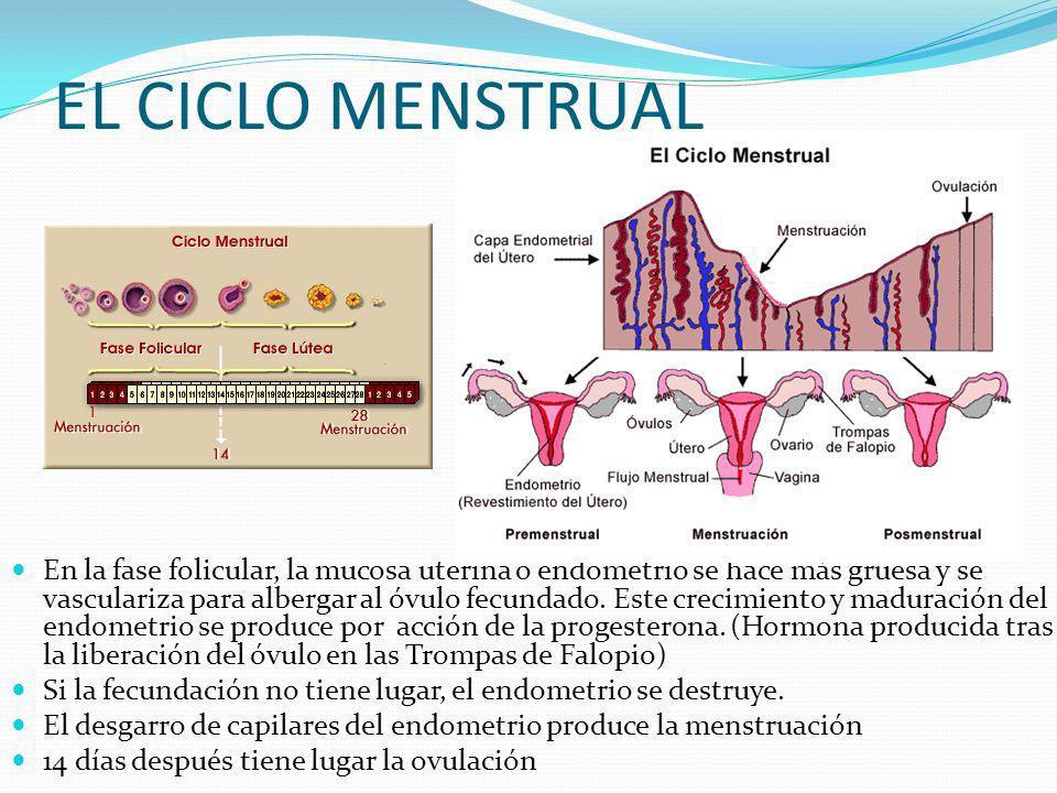 EL CICLO MENSTRUAL En la fase folicular, la mucosa uterina o endometrio se hace más gruesa y se vasculariza para albergar al óvulo fecundado. Este cre