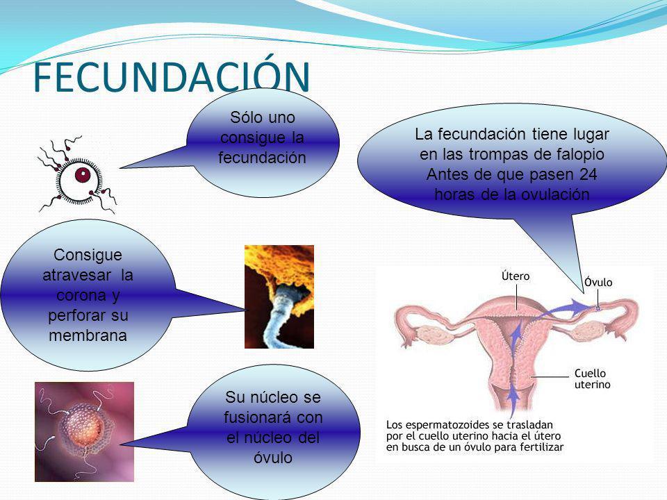 FECUNDACIÓN La fecundación tiene lugar en las trompas de falopio Antes de que pasen 24 horas de la ovulación Sólo uno consigue la fecundación Consigue