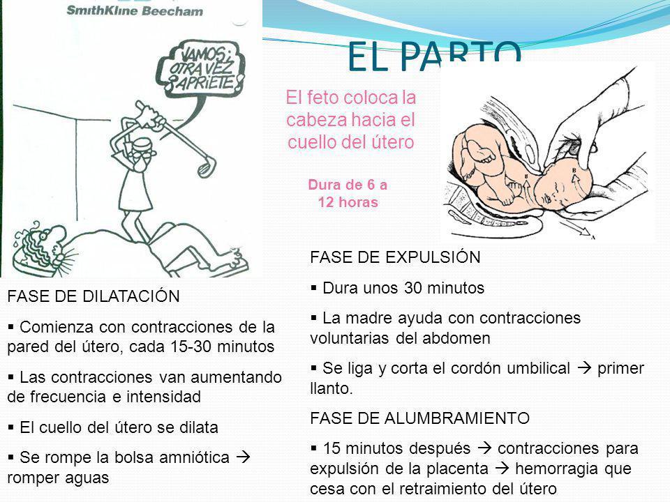 EL PARTO El feto coloca la cabeza hacia el cuello del útero Dura de 6 a 12 horas FASE DE DILATACIÓN Comienza con contracciones de la pared del útero,
